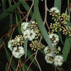 Eucalyptus Elata Garden Express