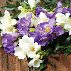 Freesia Giant Blue And White Blend