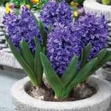 Hyacinth Blue Trophy