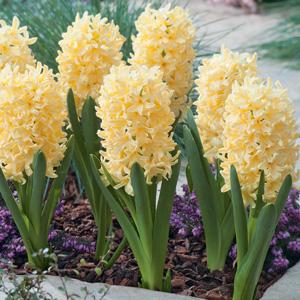 Hyacinth Yellowstone