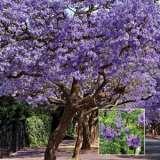 Jacaranda Mimosifolia Lpojacmim