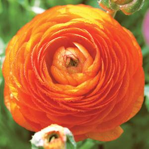 Ranunculi F1 – Orange