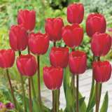 Tulip Cherry Delight