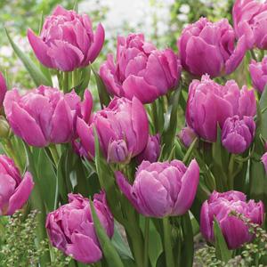 Tulip Double Price Pktuldpr