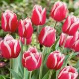 Tulip Furand Pktulfur