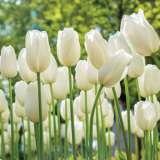 Tulip Lanka Pktullan 2020