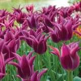 Tulip Maytime