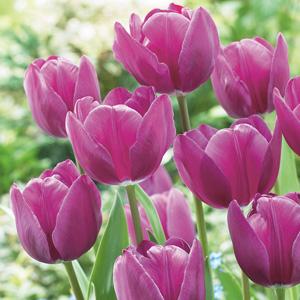 Tulip Triumph Negrita
