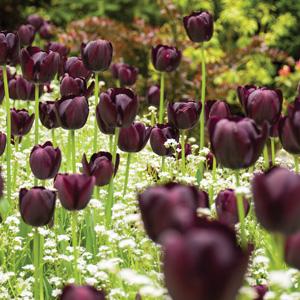 Tulip Queen Of The Night Pktulqon 2020