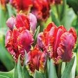 Tulip Rococo Pktulroc 2020