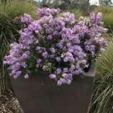 Hebe Lilac Mist (pbr)