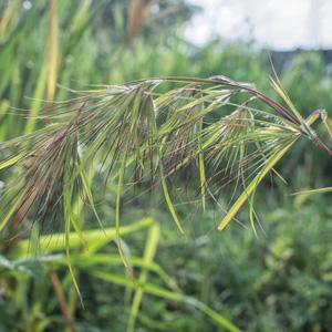 Kangaroo Grass- Themeda Australis