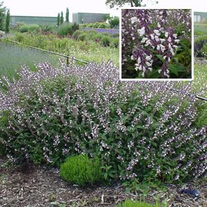 Salvia Waverley