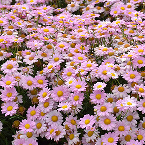 Argyranthemum Angelic Baby Pink