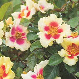 Brindabella Rose New Osiria (pbr)