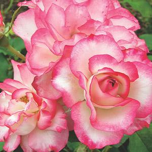 Rose Hannah Gordon