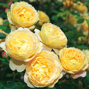 type of david austin rose