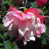 Fuchsia Beauty Of Whyalla