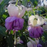 Fuchsia Fey