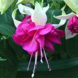 Fuchsia Weald View Tribute