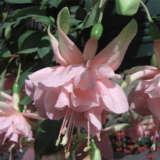 Fuchsia Waltzing Matilda