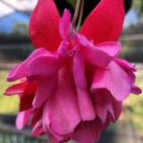 Fuchsia Weald View Fireglow