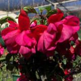 Fuchsia Weald View Shiraz