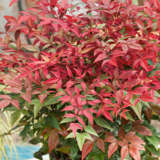 Nandina Summer Sunset (pbr)