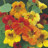 Seed – Nasturtium Trailing Mixed Colours