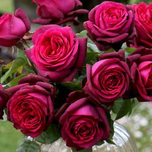 Rose Dark Desire Rospdds
