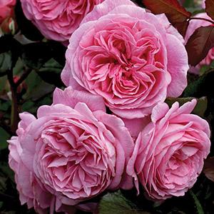 Rose Summer Romance Rossro 2020jpg
