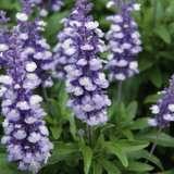 Salvia Samira Arctic Blue