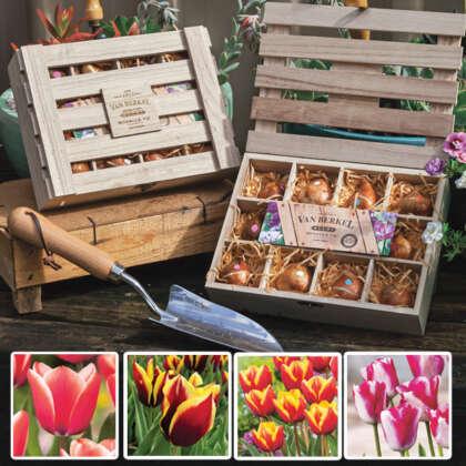 Tulip Bicolour Wooden Tea Box Collection