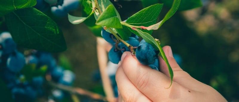 Harvesting Blueberries