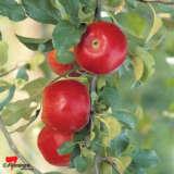 Apple Crimson Crisp