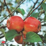 Apple Dwarf Pink Lady-cripps Pink