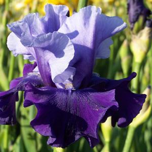 Bearded Iris Mystique