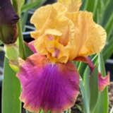 Bearded Iris Syncopation