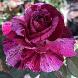 Brindabella Rose Burgundy Tiger (pbr)
