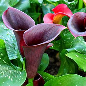 Calla Lily Hot Chocolate Pbr Garden Express