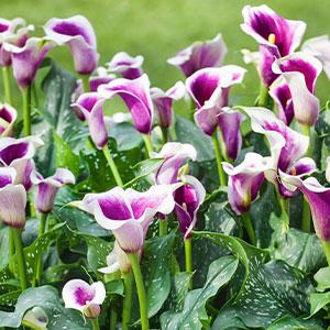 Calla Lily Picasso Garden Express