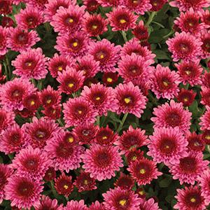 Garden Mum Chrysanthemum Rasta Rose