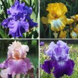 Gurus Bearded Iris Collection – 4 Plants