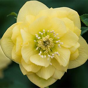 Hellebore Double  Primrose Yellow
