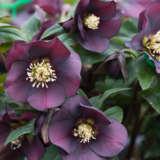 Hellebore Single Plum Purple