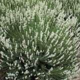 Lavender English White
