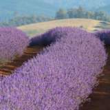 Lavender Bridestowe Collection X 5 Plants
