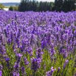 Lavender Bridestowe Elizabeth