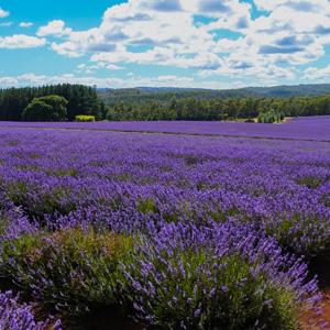 Lavender Bridestowe Myra (pbr)