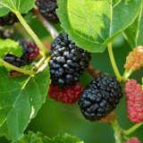 Mulberry Lena